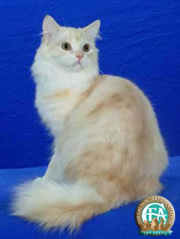 Cream Tabby Cat Pictures