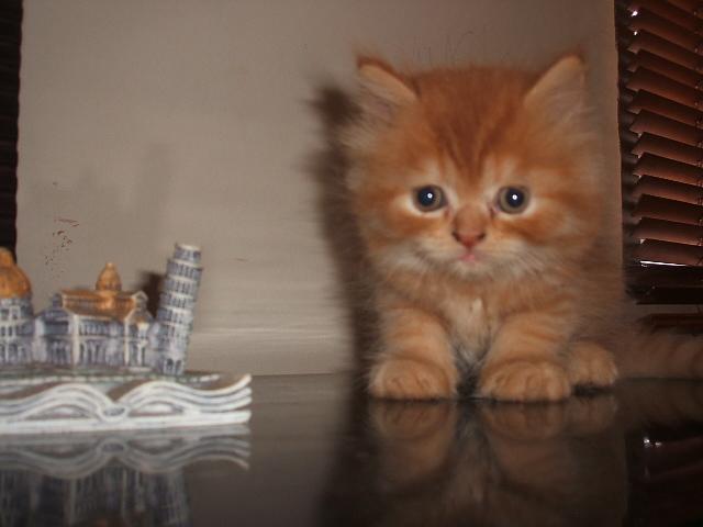 Download 61+  Gambar Kucing Keturunan Persia Imut Gratis