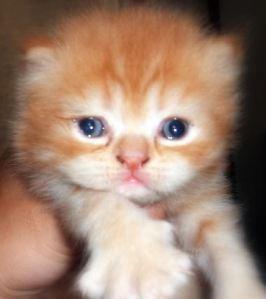 Proses Pengembangbiakkan Kucing Catatan Pengalaman Love