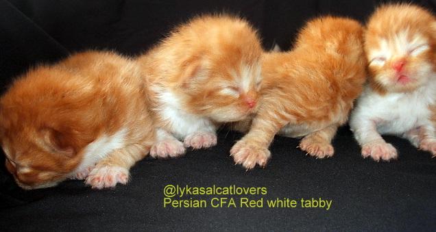 Download 95+  Gambar Kucing Persia Baru Lahir Paling Baru Gratis